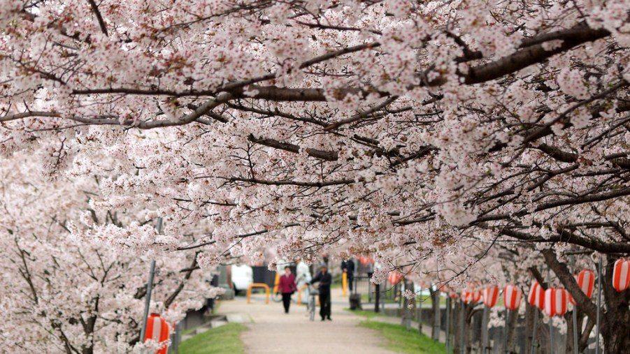 FLORAISON DES CERISIERS (SAKURA) AU JAPON – PRINTEMPS 2018