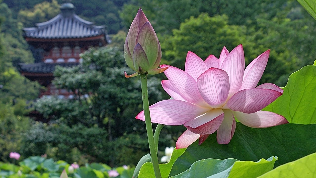 Le langage des fleurs: expressions et significations ( Fleurs A - F) !